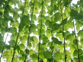 見た目も涼やかなグリーンカーテンは室内の温度上昇も抑え、快適な環境作りにお役立ちです。